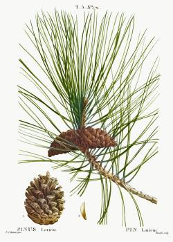 Black pine, Pinus laricio from Traité des Arbres et Arbustes que l'on cultive en France en pleine terre (1801–1819) by Pierre-Joseph Redouté. Original from the New York Public Library.  #389439