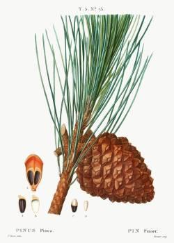 Stone pine (Pinus pinea) from Traité des Arbres et Arbustes que l'on cultive en France en pleine terre (1801–1819) by Pierre-Joseph Redouté. Original from the New York Public Library.  Free Photo