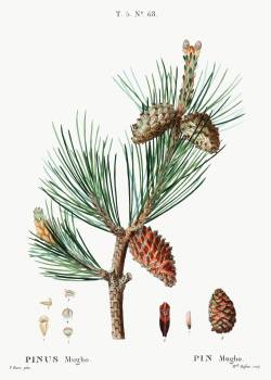 Creeping pine (Pinus mugho) from Traité des Arbres et Arbustes que l'on cultive en France en pleine terre (1801–1819) by Pierre-Joseph Redouté. Original from the New York Public Library.  #389448