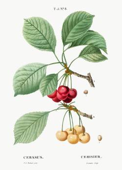 Cherry, Cerasus from Traité des Arbres et Arbustes que l'on cultive en France en pleine terre (1801–1819) by Pierre-Joseph Redouté. Original from the New York Public Library.  Free Photo