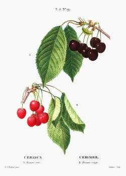 Cherry (Cerasus) from Traité des Arbres et Arbustes que l'on cultive en France en pleine terre (1801–1819) by Pierre-Joseph Redouté. Original from the New York Public Library.  Free Photo