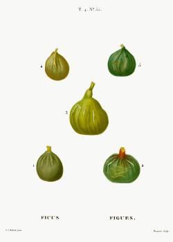 Figs, Ficus from Traité des Arbres et Arbustes que l'on cultive en France en pleine terre (1801–1819) by Pierre-Joseph Redouté. Original from the New York Public Library.  #389506