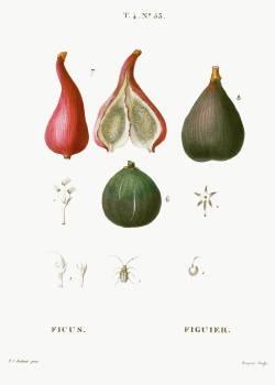 Figs, Ficus from Traité des Arbres et Arbustes que l'on cultive en France en pleine terre (1801–1819) by Pierre-Joseph Redouté. Original from the New York Public Library.  Free Photo