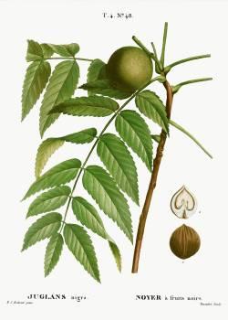 Black walnut, Juglans nigra from Traité des Arbres et Arbustes que l'on cultive en France en pleine terre (1801–1819) by Pierre-Joseph Redouté. Original from the New York Public Library.  #389549