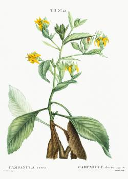 Musschia aurea (Campanula aurea) from Traité des Arbres et Arbustes que l'on cultive en France en pleine terre (1801–1819) by Pierre-Joseph Redouté. Original from the New York Public Library.  #389577
