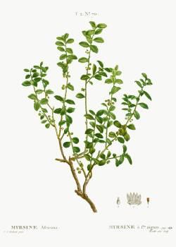 Cape myrtle, Myrsine africana from Traité des Arbres et Arbustes que l'on cultive en France en pleine terre (1801–1819) by Pierre-Joseph Redouté. Original from the New York Public Library.  #389604
