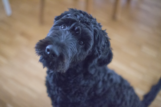 Black Short Coat Dog Sitting on Brown Wooden Floor #38961