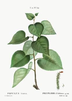 Populus graeca from Traité des Arbres et Arbustes que l'on cultive en France en pleine terre (1801–1819) by Pierre-Joseph Redouté. Original from the New York Public Library.  #389626