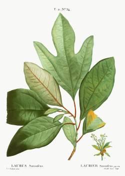 Laurels (Laurus sassafras) from Traité des Arbres et Arbustes que l'on cultive en France en pleine terre (1801–1819) by Pierre-Joseph Redouté. Original from the New York Public Library.  #389659