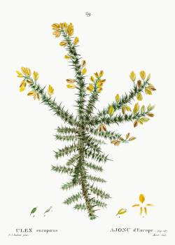 Gorse (Ulex europaeus) from Traité des Arbres et Arbustes que l'on cultive en France en pleine terre (1801–1819) by Pierre-Joseph Redouté. Original from the New York Public Library.  Free Photo