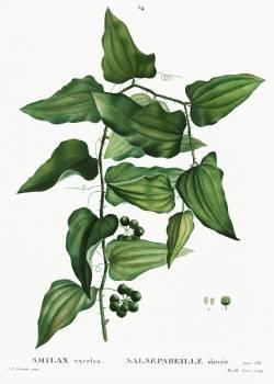 Smilax from Traité des Arbres et Arbustes que l'on cultive en France en pleine terre (1801–1819) by Pierre-Joseph Redouté. Original from the New York Public Library.  Free Photo