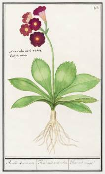Primrose, Primula (1596–1610) by Anselmus Boëtius de Boodt. Original from the Rijksmuseum.  Free Photo
