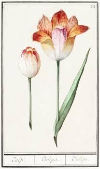 Tulip, Tulipa (1596–1610) by Anselmus Boëtius de Boodt. Original from the Rijksmuseum.  Free Photo