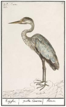 Great Blue Heron, Ardea cinerea (1596–1610) by Anselmus Boëtius de Boodt. Original from the Rijksmuseum.  #389832