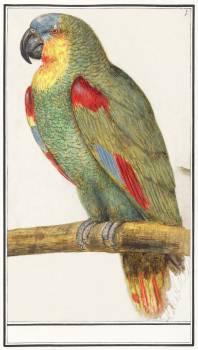 Parrot (1596–1610) by Anselmus Boëtius de Boodt. Original from the Rijksmuseum.  #389868