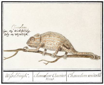 Chameleon, Chamaeleonidae (1596–1610) by Anselmus Boëtius de Boodt. Original from the Rijksmuseum.  Free Photo