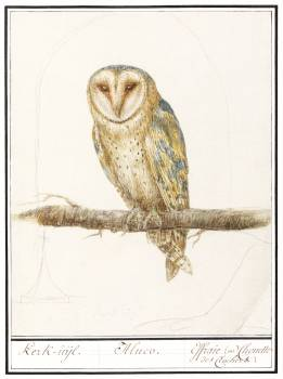 Barn Owl, Tyto alba (1596–1610) by Anselmus Boëtius de Boodt. Original from the Rijksmuseum.  #389884