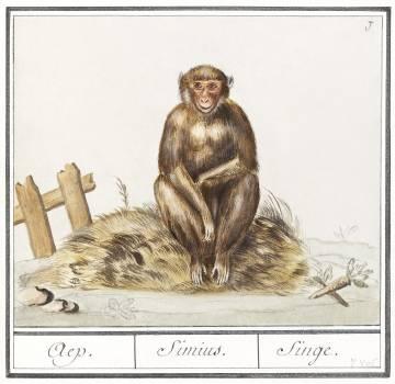 Monkey, Primates (1596–1610) by Anselmus Boëtius de Boodt. Original from the Rijksmuseum.  #389889