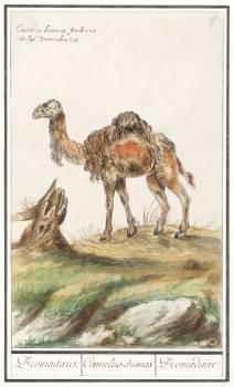 Dromedary, Camelus dromedarius (1596–1610) by Anselmus Boëtius de Boodt. Original from the Rijksmuseum.  Free Photo