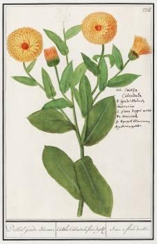 Marigold, Calendula officinalis (1596–1610) by Anselmus Boëtius de Boodt. Original from the Rijksmuseum.  #389919