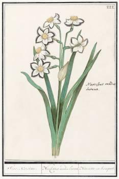 Trosnarcis, Narcissus (1596–1610) by Anselmus Boëtius de Boodt. Original from the Rijksmuseum.  #389927