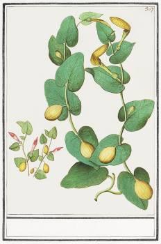 Unknown plant (1596–1610) by Anselmus Boëtius de Boodt. Original from the Rijksmuseum.  Free Photo