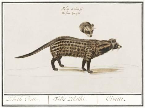 Civet cat, Viverra (1596–1610) by Anselmus Boëtius de Boodt. Original from the Rijksmuseum.  #389937