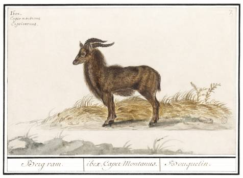 Alpine ibex, Capra ibex (1596–1610) by Anselmus Boëtius de Boodt. Original from the Rijksmuseum.  #389938