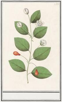 Myrtle family, Myrtaceae (1596–1610) by Anselmus Boëtius de Boodt. Original from the Rijksmuseum.  #389945