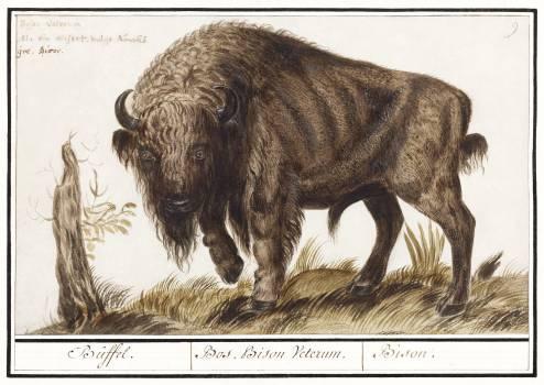Wisent or European bison, Bison bonasus (1596–1610) by Anselmus Boëtius de Boodt. Original from the Rijksmuseum.  #389948