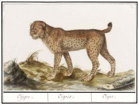 Lynx, Lynx lynx (1596–1610) by Anselmus Boëtius de Boodt. Original from the Rijksmuseum.  #389959