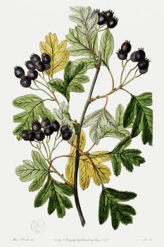 Broad-leaved thorn from Edwards's Botanical Register (1829—1847) by Sydenham Edwards, John Lindley, and James Ridgway. Original from the Biodiversity Heritage Library.  #390043