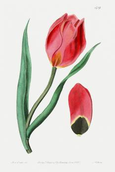 The Early Sun's Eye Tulip from Edwards's Botanical Register (1829—1847) by Sydenham Edwards, John Lindley, and James Ridgway. Original from the Biodiversity Heritage Library.  #390097