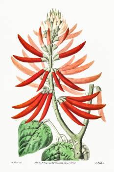 Naked-flowering Erythrina from Edwards's Botanical Register (1829—1847) by Sydenham Edwards, John Lindley, and James Ridgway. Original from the Biodiversity Heritage Library.  Free Photo