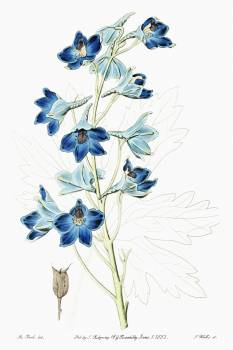 Shewy delphinium from Edwards's Botanical Register (1829—1847) by Sydenham Edwards, John Lindley, and James Ridgway. Original from the Biodiversity Heritage Library.  Free Photo