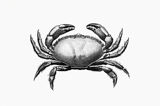 Vintage Victorian style crab engraving. Original from the British Library.  #390254