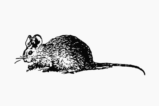 Vintage European style mouse engraving from Messia by Ll.D. Samuel Johnson (1709–1784). Original from the British Library.  Free Photo