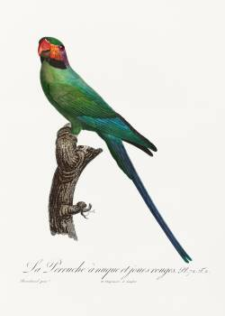 The Blossom-Headed Parakeet with Red Cheeks from Natural History of Parrots (1801—1805) by Francois Levaillant. Original from the Biodiversity Heritage Library.  #390409