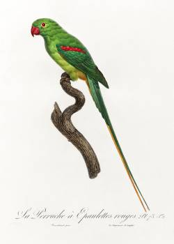 The Alexandrine Parakeet from Natural History of Parrots (1801—1805) by Francois Levaillant. Original from the Biodiversity Heritage Library.  #390413
