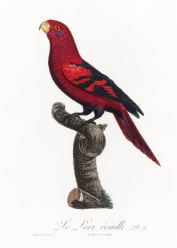 The Violet-Necked Lory, Eos squamata from Natural History of Parrots (1801—1805) by Francois Levaillant. Original from the Biodiversity Heritage Library.  #390423