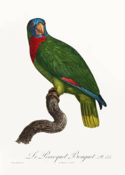 The Red-Necked Amazon, Amazona arausiaca from Natural History of Parrots (1801—1805) by Francois Levaillant. Original from the Biodiversity Heritage Library.  Free Photo