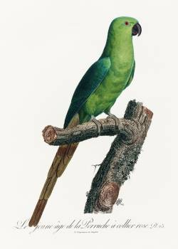 The Rose-Ringed Parakeet, Psittacula krameri from Natural History of Parrots (1801—1805) by Francois Levaillant. Original from the Biodiversity Heritage Library.  #390478