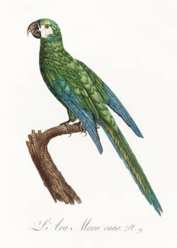 The Blue-Winged Macaw, Primolius maracana from Natural History of Parrots (1801—1805) by Francois Levaillant. Original from the Biodiversity Heritage Library.  #390518