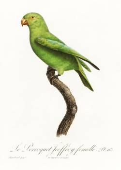 The Red-Cheeked Parrot, Geoffroyus geoffroyi, female from Natural History of Parrots (1801—1805) by Francois Levaillant. Original from the Biodiversity Heritage Library.  #390526