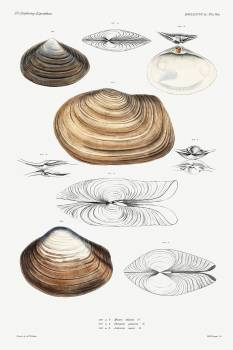 Clam shell varieties set illustration from Mollusca & Shells by Augustus Addison Gould. Original from Biodiversity Heritage Library.  #390539