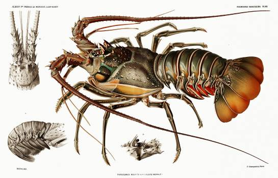 Illustration of an European lobster from Résultats des Campagnes Scientifiques by Albert I, Prince of Monaco (1848–1922). Original from Biodiversity Heritage Library.  #390541