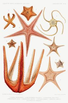 Starfish varieties set illustration from Résultats des Campagnes Scientifiques by Albert I, Prince of Monaco (1848–1922). Original from Biodiversity Heritage Library.  #390547