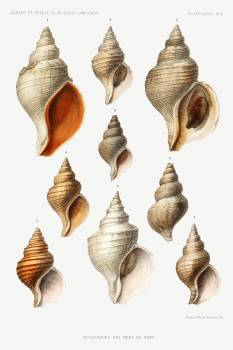 Molluscs of the Northern Seas from Résultats des Campagnes Scientifiques by Albert I, Prince of Monaco (1848–1922). Original from Biodiversity Heritage Library.  Free Photo