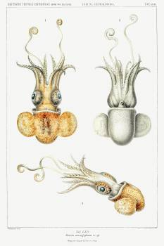 Bobtail squid illustration from Deutschen Tiefsee-Expedition, German Deep Sea Expedition (1898–1899) by Carl Chun. Original from Biodiversity Heritage Library.  #390559