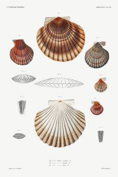 Clam shell varieties set illustration from Mollusca & Shells by Augustus Addison Gould. Original from Biodiversity Heritage Library.  #390611